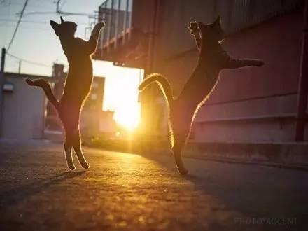 岛国摄影师镜头下的猫咪黄昏打架,有种大片的感觉,太震撼了...