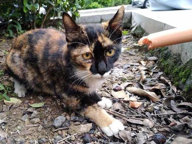 路遇讨东西吃的玳瑁猫一只 求好心人收养