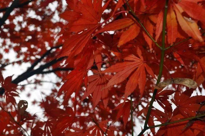 惊艳!宁波这9处森林公园,承包了你一整个秋天的红叶!