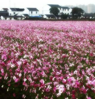 宁波这里有片粉红花海,冬天开花了!