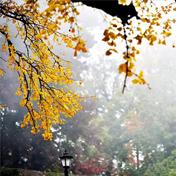 秋意渐浓,银杏已泛黄
