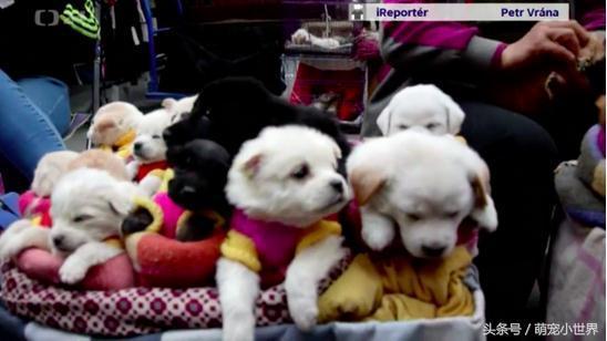 想买市场中色彩缤纷的狗玩偶给孙子,靠近看才发现每只都是活狗狗