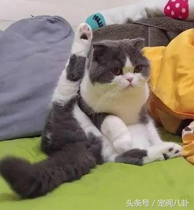 """国外的这只猫,听到主人的""""hello就会露出迷之尴尬的造型"""