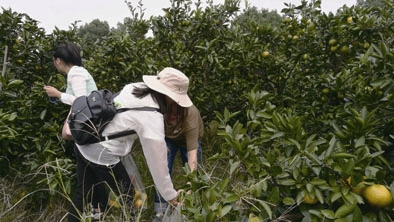 果农患重疾橘子滞销 北仑公交 30余位党员采摘认购千余斤