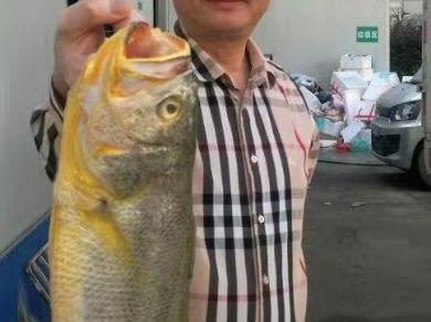 8.8斤野生大黄鱼现宁波 行家教你如何识别野生大黄鱼