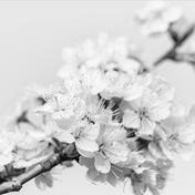 梨花一枝春带雨