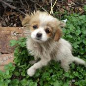 中华田园犬,求收养