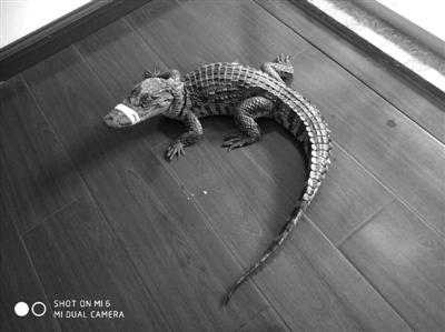 宁波小伙把鳄鱼当宠物养在家边池塘,邻居洗手时被咬伤