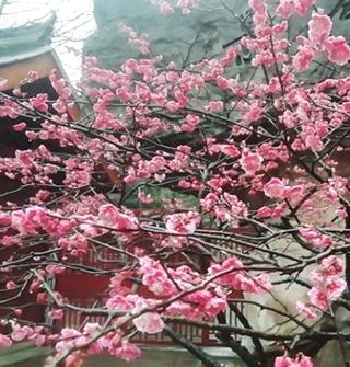 今年雨季多,九峰山的梅花开得好盛