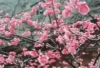 今年雨季多,九峰山梅花盛
