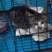 虎斑小猫咪免费领养