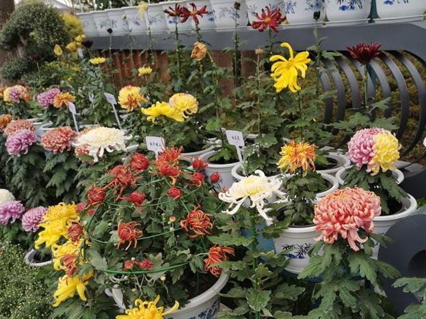 宁波最红火的植物园菊花展开始啦!先睹为快