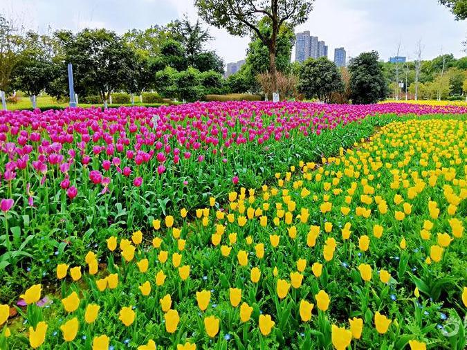 鄞州公园郁金香盛开。祝我们的祖国,山河无恙,人民安康