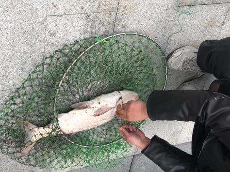 用这种网也能网上鱼?三江口的鱼好大的