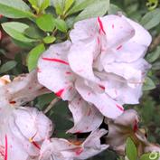 白色的杜鹃花见过吗?