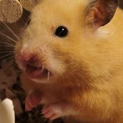 女儿养的小仓鼠太可爱