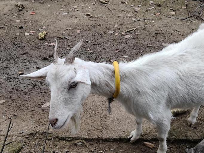 没事跟老妈山里走走,发现放养牛羊都用上GPS定位了,也是厉害了