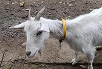 现在放牛放羊都用上GPS啦