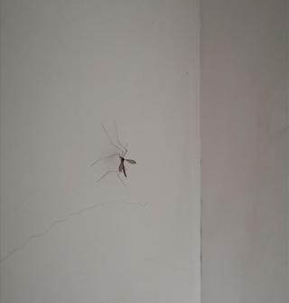 """周末在农村看到""""变异版""""的蚊子,也太大了"""