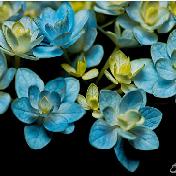 夜色中的绣球花,有一种静谧之美!